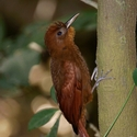 RUDDY WOODCREEPER, Buena Vista